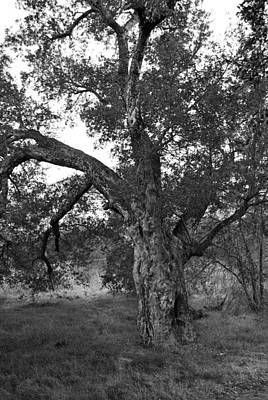 Photograph - Black And White Oak by Bransen Devey