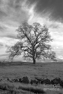 Black And White Oak Tree Art Print