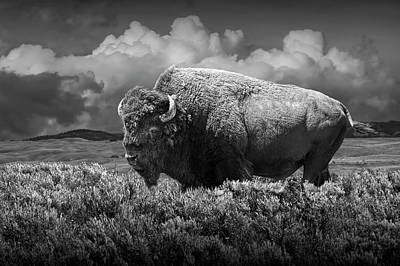 Photograph - Black And White Of American Buffalo In Yellowstone by Randall Nyhof