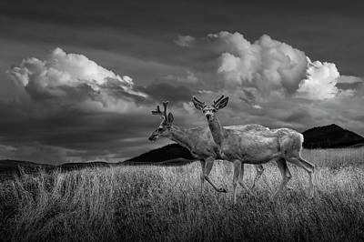 Photograph - Black And White Of Male Mule Deer With Velvet Antlers by Randall Nyhof