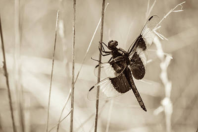 Photograph - Black And White Of Widow Skimmer Dragonfly by Joni Eskridge