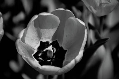 Photograph - Black And White Orange Tulip by Aimee L Maher Photography and Art Visit ALMGallerydotcom