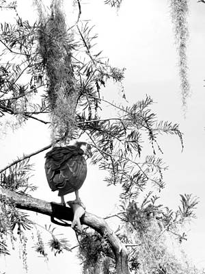 Photograph -  Black And White Osprey With A Fish   by Chris Mercer