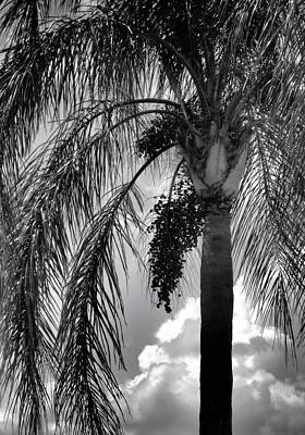 Photograph - Black And White Palm Tree by Rosalie Scanlon