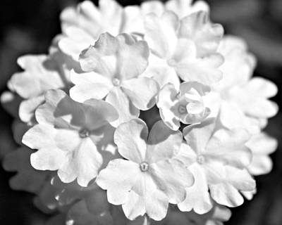 Photograph - Black And White Phlox Flower by Classically Printed