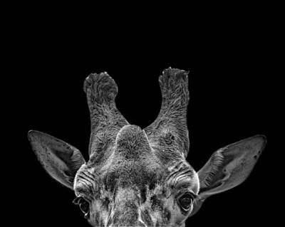 Photograph - Black And White Photograph Of A Giraffe by Preston McCracken