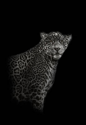 Photograph - Black And White Photograph Of A Leopard Looking Foward by Preston McCracken