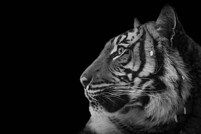 Photograph - Black And White Photograph Of A Tiger by Preston McCracken
