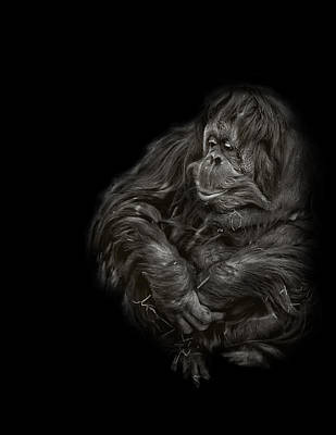 Photograph - Black And White Photograph Of An Orangutan  by Preston McCracken