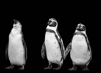 Photograph - Black And White Photograph Of Three Penguins by Preston McCracken