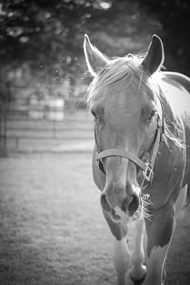 Photograph - Black And White Portrait Of A Horse In The Sun by Kelly Hazel