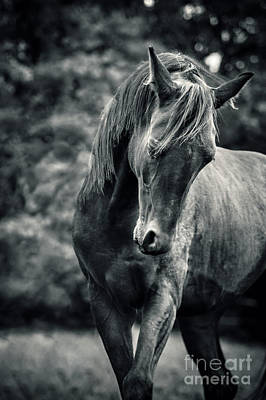 Black And White Portrait Of Horse Art Print