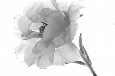 Black And White Portulaca Art Print by Ann Bridges