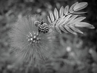 Photograph - Black And White Powder Puff Flower by Aimee L Maher Photography and Art Visit ALMGallerydotcom