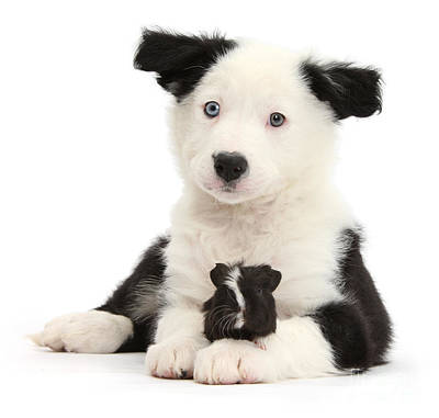 Photograph - Black And White Pup And Guinea by Warren Photographic