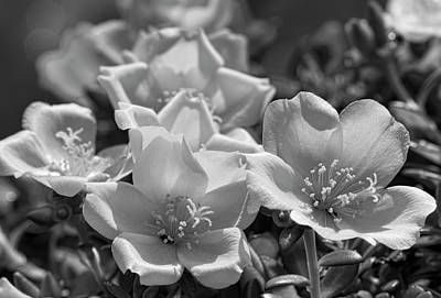Photograph - Black And White Purslane  by Kathy Clark