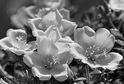 Photograph - Black And White Purslane  by Kathy Clark