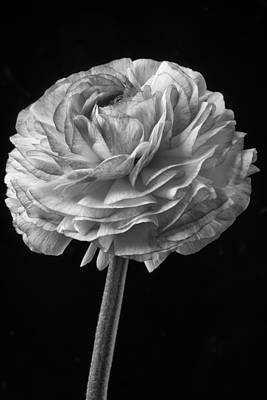 Ranunculus Flower Photograph - Black And White Ranunculus by Garry Gay