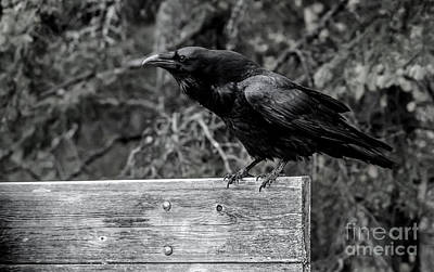 Photograph - Black And White Raven by Cheryl Baxter