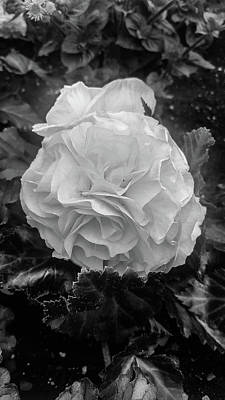 Black And White Rose Art Print by Britten Adams