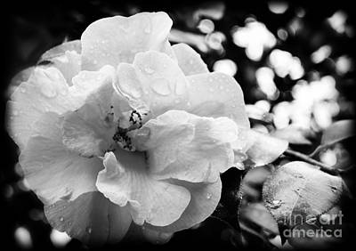 Photograph - Black And White Rose Of Sharon by Eva Thomas