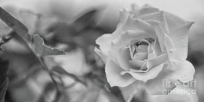 Photograph - Black And White Rose by Olga Hamilton