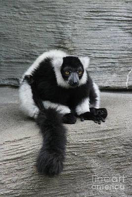 Photograph - Black-and-white Ruffed Lemur by Judy Whitton
