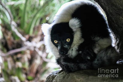 Photograph - Black And White Ruffed Lemur by Suzanne Luft