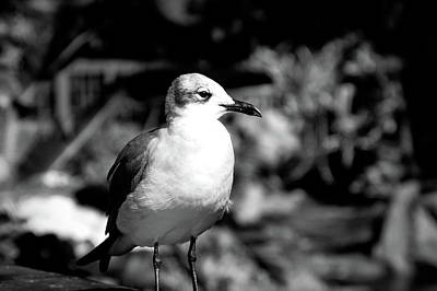 Photograph - Black And White Seagull by Aimee L Maher Photography and Art Visit ALMGallerydotcom