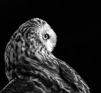 Photograph - Black And White Short Eared Owl by Dan Sproul