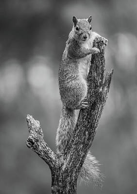 Photograph - Black And White Squirrel Pose by Bruce Pritchett