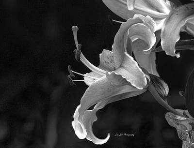 Photograph - Black And White Stargazer Lily by Jeanette C Landstrom