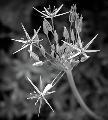 Photograph - Black And White Starlight Flower by Aimee L Maher Photography and Art Visit ALMGallerydotcom