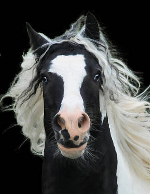 Gypsy Vanner Horse Photograph - Black And White Study Vi by Terry Kirkland Cook