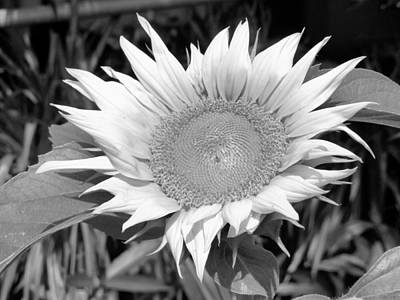 Photograph - Black And White Sunflower Worship by Belinda Lee