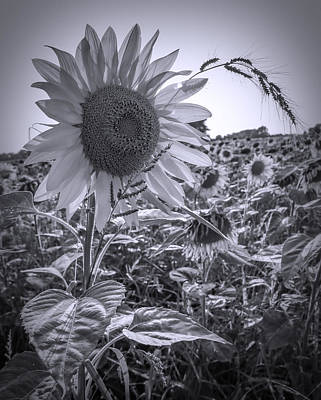 Photograph - Black And White Sunflower by Dan Sproul