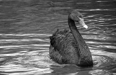 Photograph - Black And White Swan by Laurel Powell
