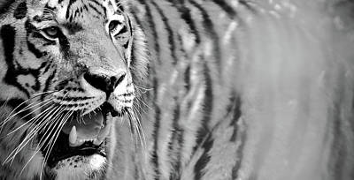 Photograph - Black And White Tiger Art Photo by Wall Art Prints