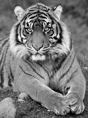 Photograph - Black And White Tiger Pose by Steve McKinzie