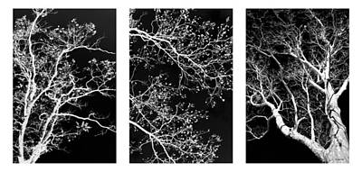 Photograph - Black And White Tree Triptych by Christina Rollo
