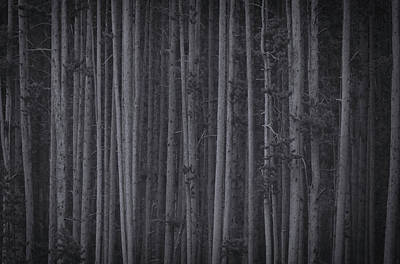 Photograph - Black And White Trees In Yellowstone by Dan Sproul