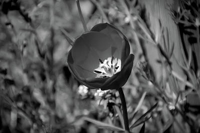 Photograph - Black And White Tulip by Aimee L Maher Photography and Art Visit ALMGallerydotcom