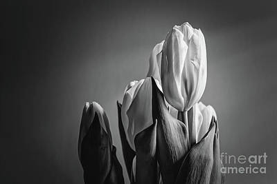 Digital Art - Black And White Tulip by Elijah Knight