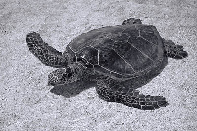 Photograph - Black And White Turtle by Pamela Walton