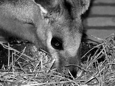 Photograph - Black And White Wallaby  by Chris Mercer