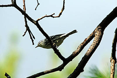 Photograph - Black And White Warbler by Debbie Oppermann