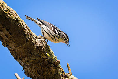 Photograph - Black And White Warbler - Magee Marsh, Ohio by Jack R Perry
