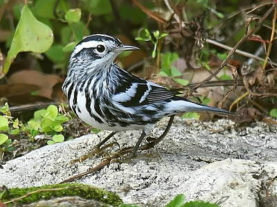 Photograph - Black And White Warbler by Myrna Bradshaw