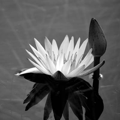 Photograph - Black And White - Water Lily by rd Erickson