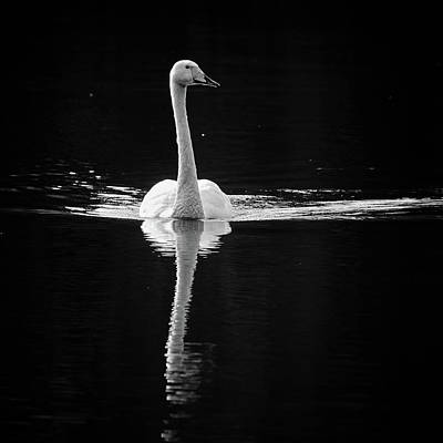 Photograph - Black And White. Whooper Swan by Jouko Lehto